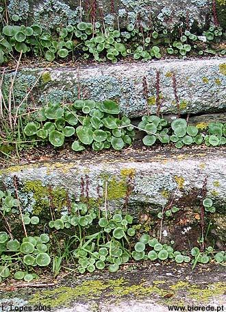 Umbigo-de-vénus (<i>Umbilicus rupestris</i>)